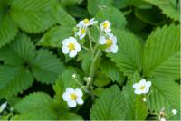 Fragaria moschata (1147_0.jpg)
