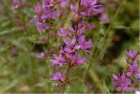 Lythrum 'Dropmore Purple' (1672_0.jpg)