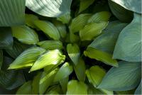 Hosta 'Chinese Sunrise' (4037_0.jpg)