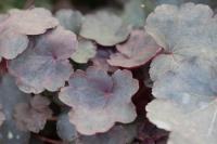 Heuchera 'Starry Night' (4576_0.jpg)