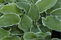 Hosta 'Frosted Jade' (4644_0.jpg)