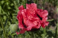 Papaver orientale 'Raspberry Queen' (4808_0.jpg)