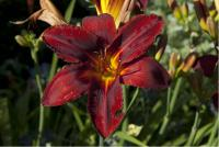 Hemerocallis 'Berlin Red' (5260_0.jpg)