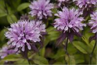 Monarda 'Beauty of Cobham' (599_0.jpg)
