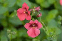 Diascia 'Deep Red' (6012_0.jpg)