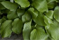 Hosta 'Gosan Leather Strap' (6047_0.jpg)