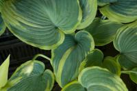 Hosta 'Earth Angel' (7598_0.jpg)