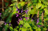 Salvia guaranitica 'Rhythm & Blues' (8873_0.jpg)
