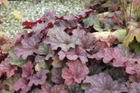 Heuchera 'Berry Smoothie' (8910_0.jpg)