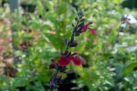 Salvia 'Dark Red Dream' (9021_0.jpg)