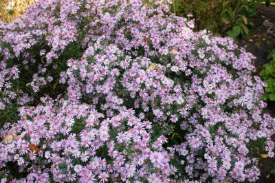 Aster 'Coombe Fishacre' (129_0.jpg)