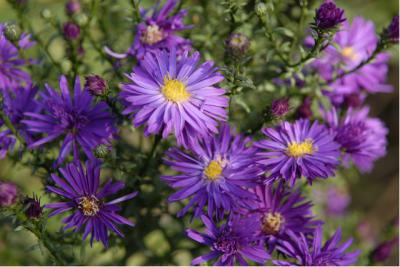 Aster novi-belgii 'Purple Dome' (2626_0.jpg)
