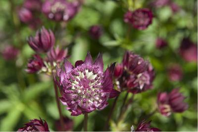 Astrantia 'Moulin Rouge' (4192_0.jpg)