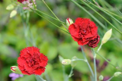 Dianthus 'Old Red Clove' (7411_0.jpg)