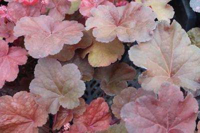 Heuchera 'Blondie' (8909_1.jpg)