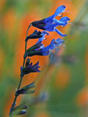 Salvia guaranitica 'Black and Blue' (9098_0.jpg)